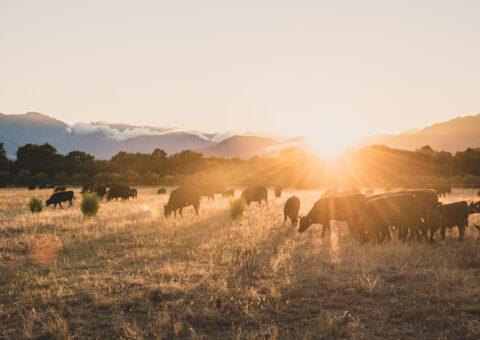 Sunrise Field With Cows